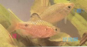阿惠的熱帶魚水族箱: 玫瑰鯽