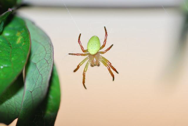 Spinne Mit Grünem Hinterteil