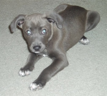 Dogbreedcatalog Blue Lacy Puppies
