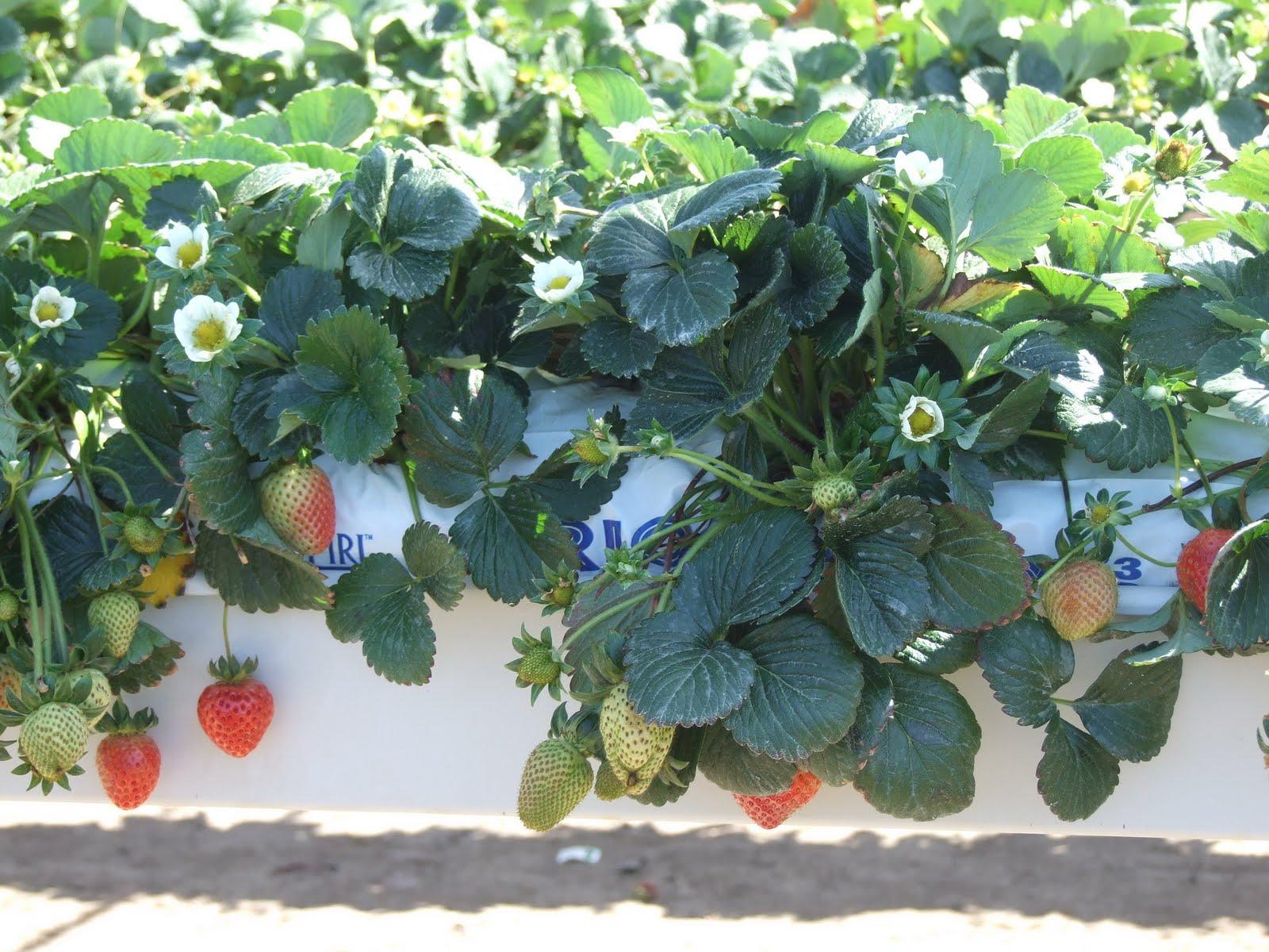 Выращивание семян клубники в гидропонике посадить семечку конопли