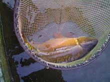 Al laghetto pesca sportiva bordolano for Vendita carassi vivi