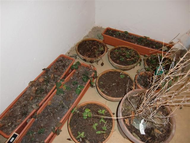 Gartenblog Topfgartenwelt Erdbeeren - Überwinterung im Keller