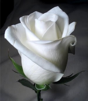 انا ورده بيضاء اني ورده بيضاء