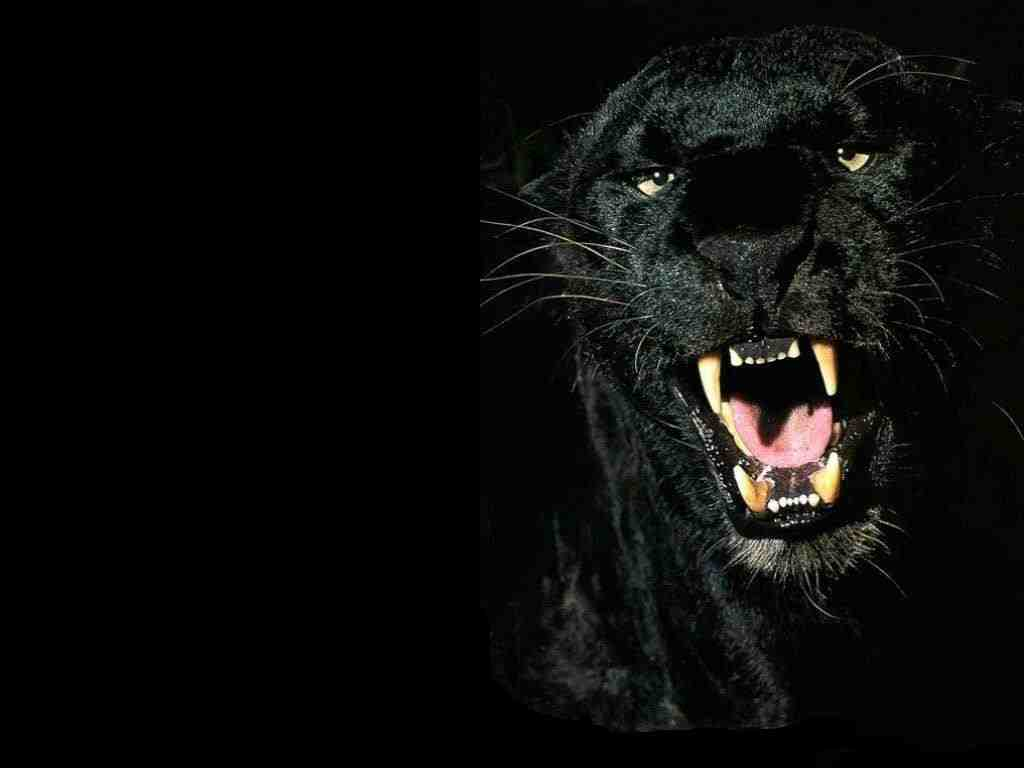 Free wallpapers 4 you black panther 1 wallpaper free download - Jaguar animal hd wallpapers ...