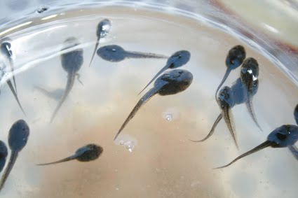 Iris libellule news from vitamina 39 s garden for Alghe filamentose nel laghetto
