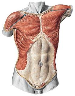 Anatomía Humana Músculos Del Tronco Tórax Y Abdomen