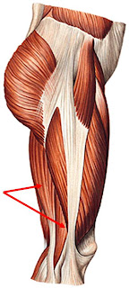 musculos del muslo lateral