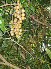 Macadamia Nuts in Tree