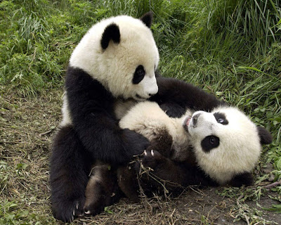 fotos de osos panda cariñosos 2