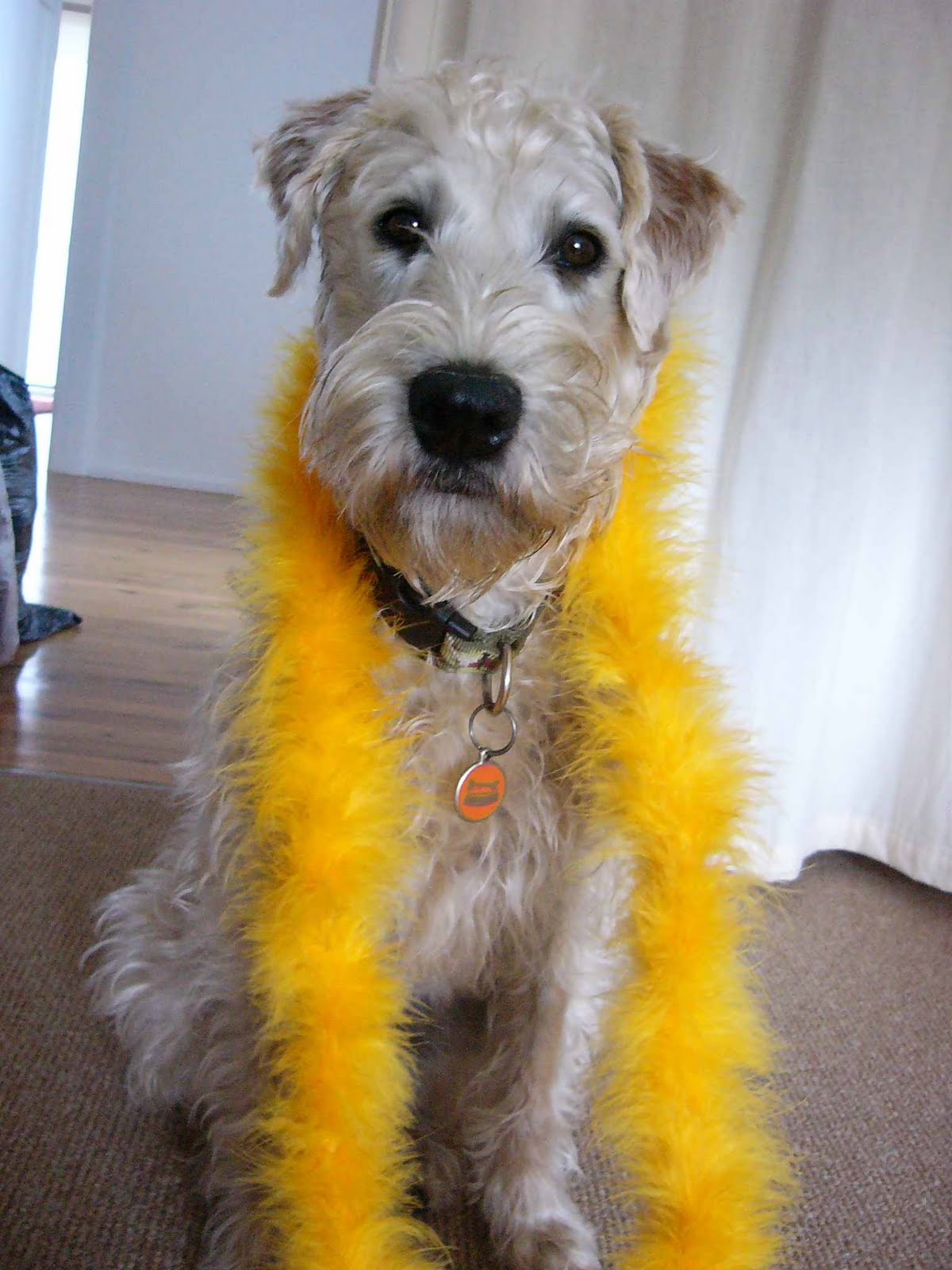 Irish Soft Coated Wheaten Terrier called Nessa