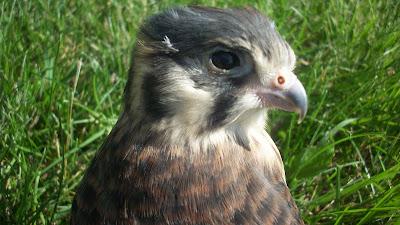 Baby sparrow hawk - photo#31