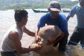ikan duyung tertangkap nelayan