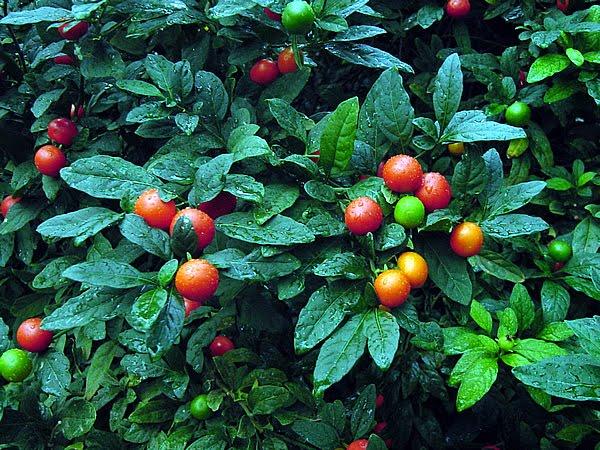 Spirit Whisper Berries World Yummy World