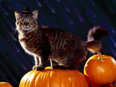 gato con calabazas halloween