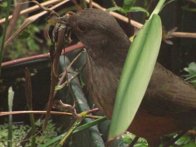 Turdus rufiventris Zorzal colorado