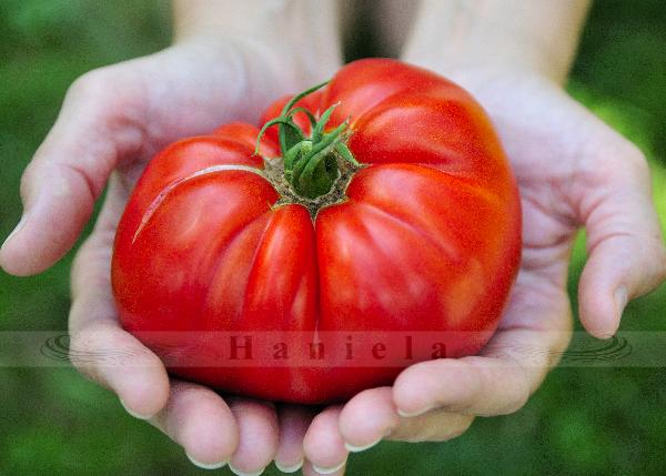 tomato, vegetable garden