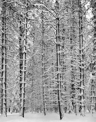 Trees and Snow, Ansel Adams