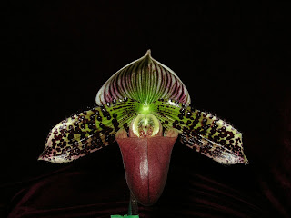 Paph. (Zellwood Station x Hsinying Maru) 'Automagically'