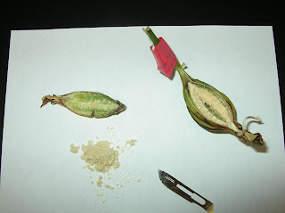 Orchid Seed and Seed Pod