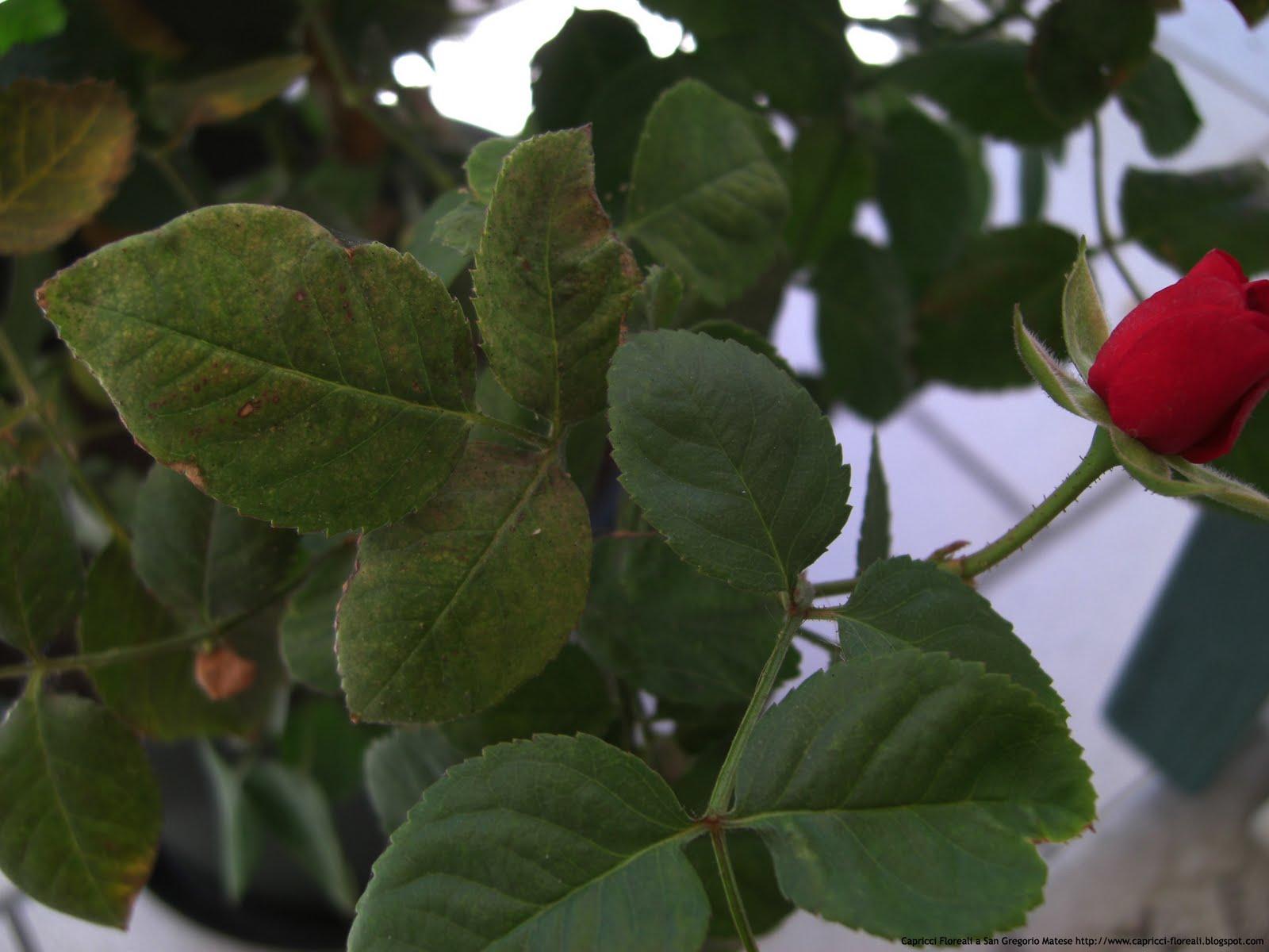Combattere Afidi Delle Rose la fioraia a san gregorio matese: come combattere i pidocchi