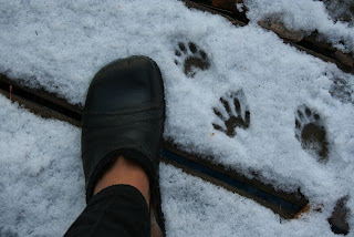 my shoe beside raccoon prints in the snow