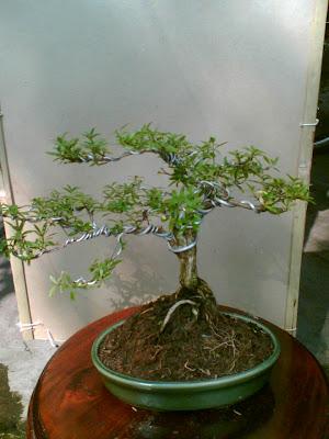 mame bonsai suim: Mame Seribu Bintang