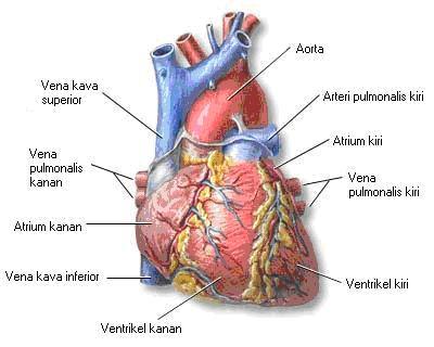 [Image: jantung.jpg]