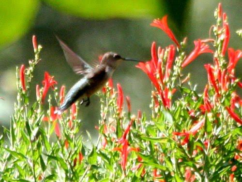 Favorite Plants Butterflies Gardens Flames Acanthus