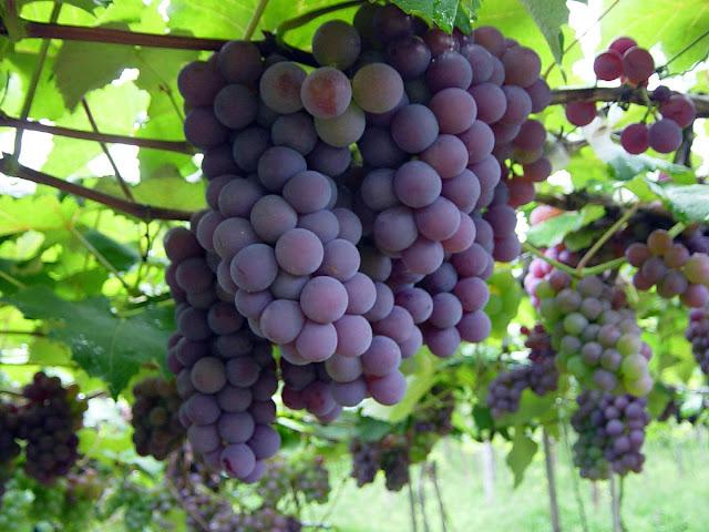Resultado de imagem para Plantação de Uva