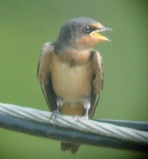 Rurality: Baby barn swallows