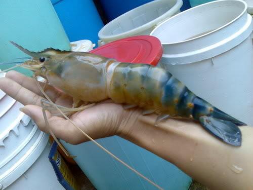 KAKI PANCING: Lobster Livelihood