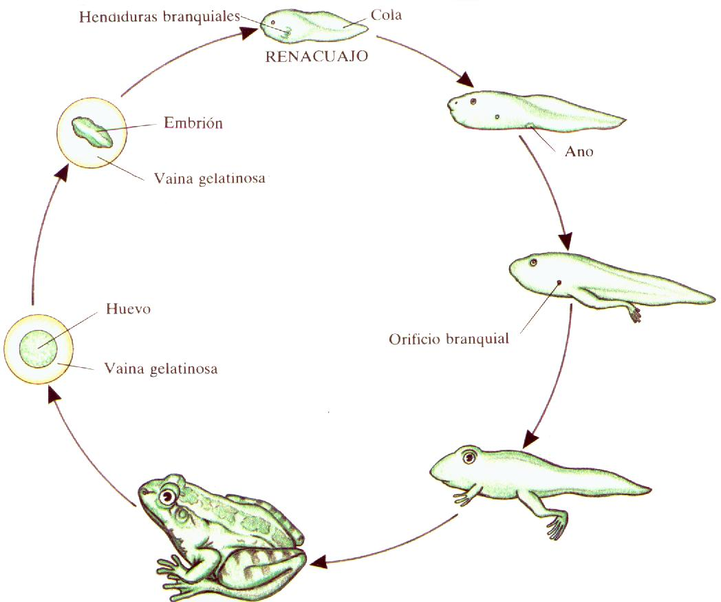 Reproduction Vs Extinction Life Cycle Is The Most