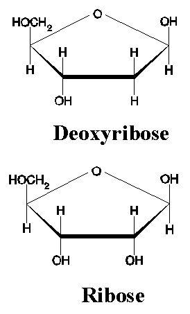 deoxyribose vs ribose - photo #11