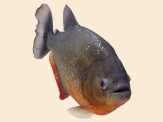 scary piranha fish clipart image for free