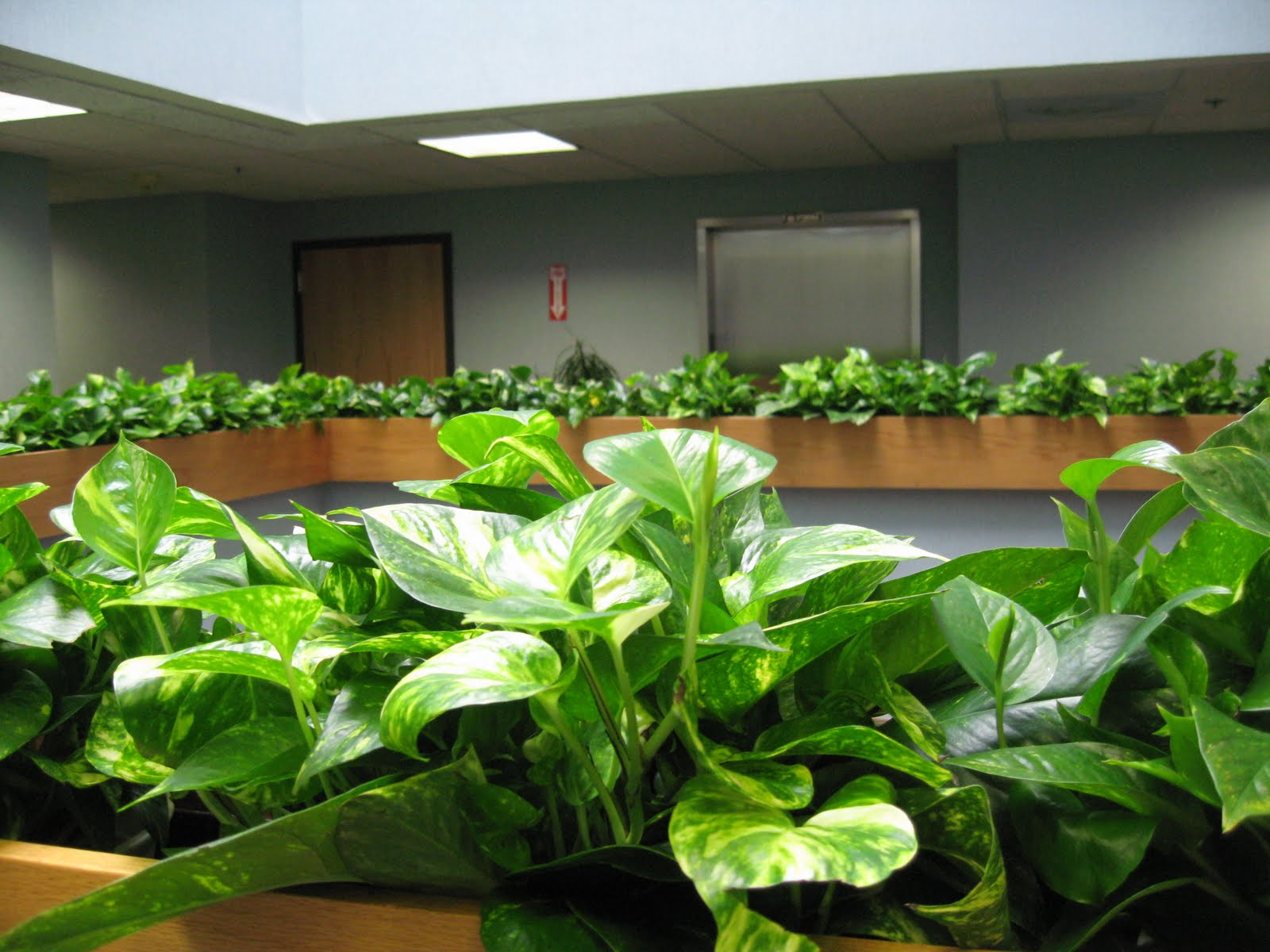 Pdi Plants Blog Why Use Pothos Plants In Your Interior