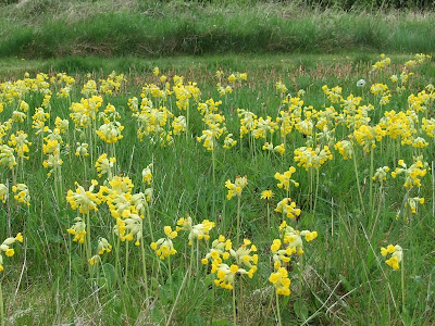 Cowslips at the Butterfly Park. Photo: Hilary Ash