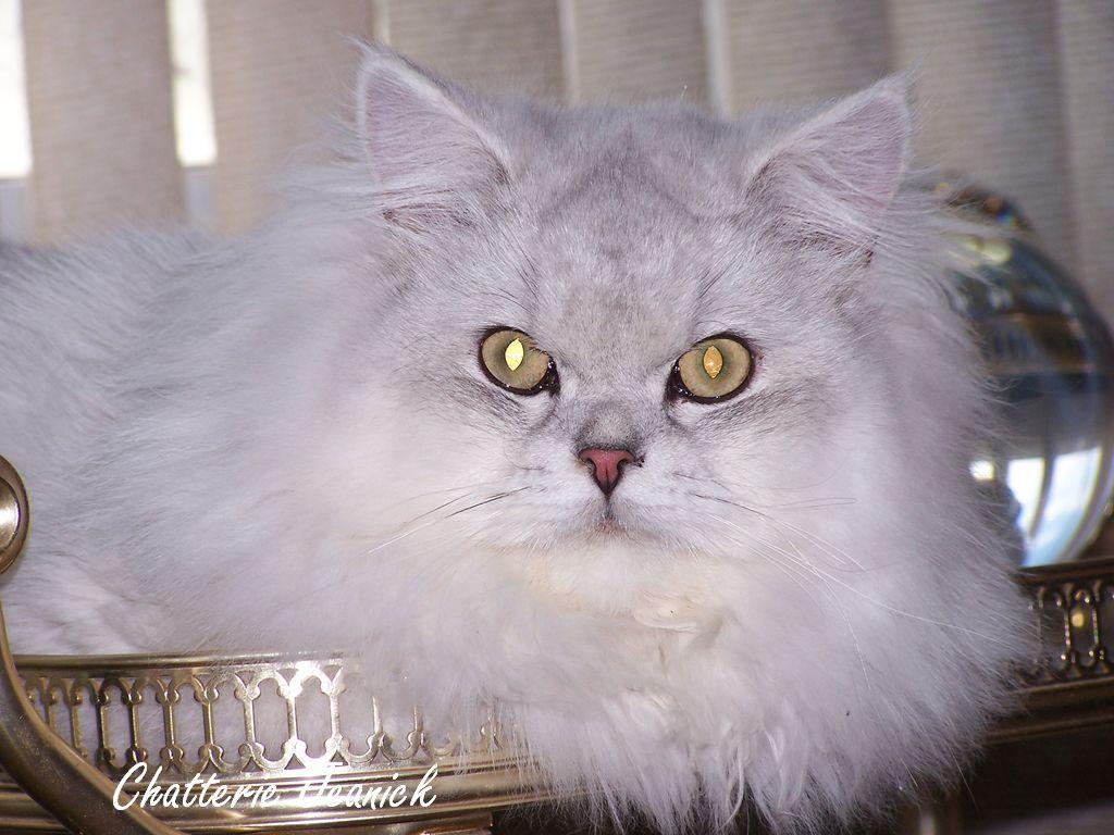 elevage de chats persans et himalayen cats breeder persians himalayans katherine exotic. Black Bedroom Furniture Sets. Home Design Ideas