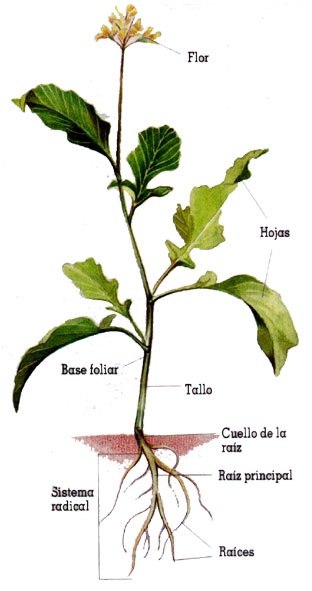 El rbol de juan antonio las plantas y sus partes for Las partes de un arbol en ingles