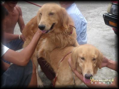 Golden Retriever For Sale Philippines Petfinder