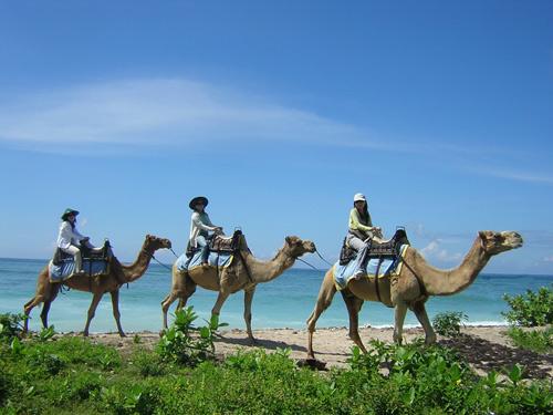Image Result For Wisata Bali Camel Safari