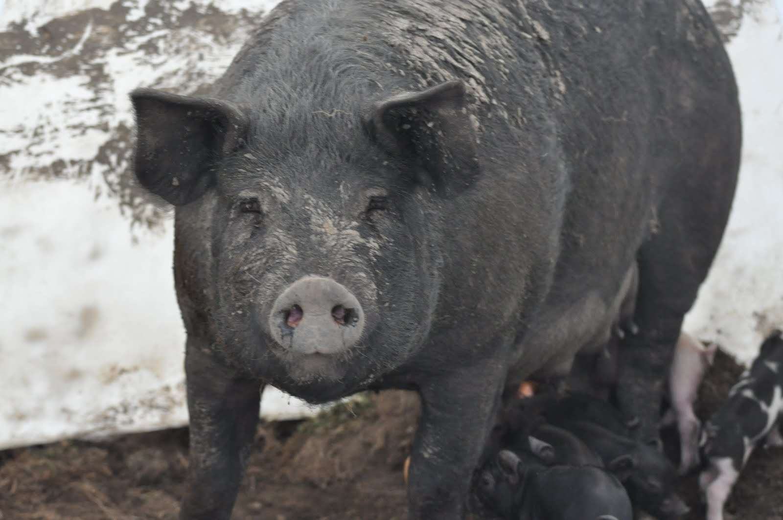 meat: The Piglet avenger - the mean black pig