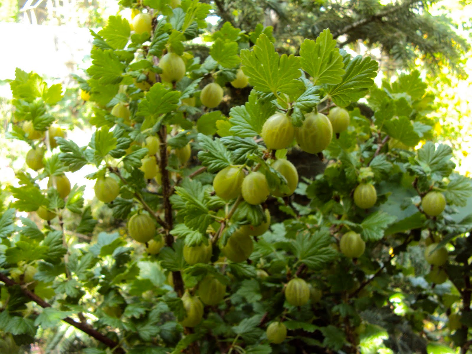 gooseberry hedges - HD1600×1200