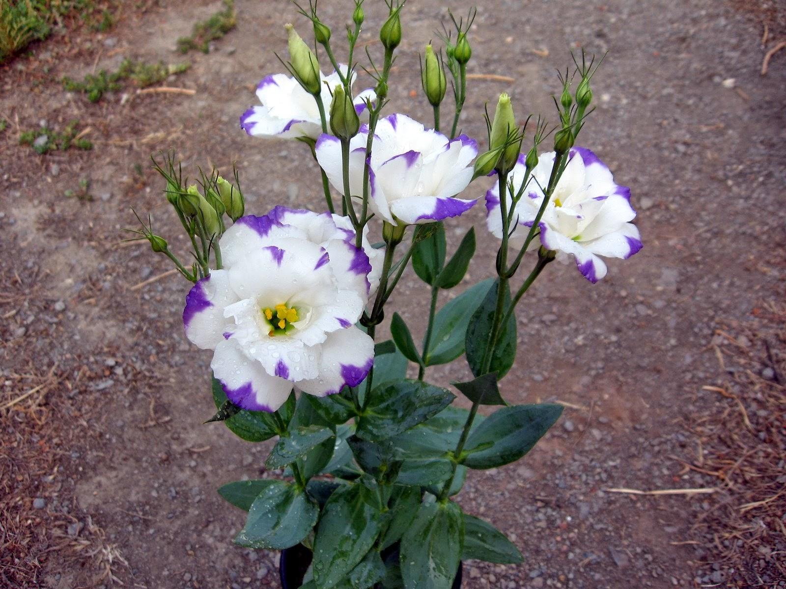 Bahçe yetiştiricileri - yıllık flox (ekim ve bakım)