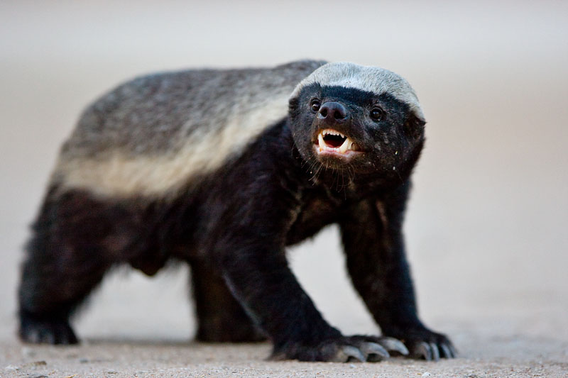The Game Lodge Index: Fun Facts about Honey Badgers!