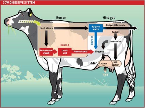 Cow Digestive Tract: We Love The Prairie Primer: Farmer Boy