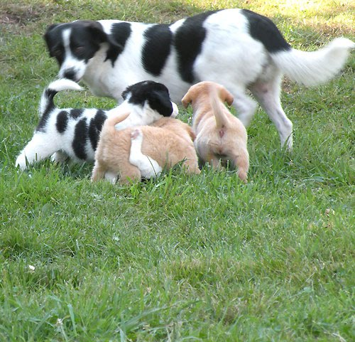 Speagle Puppies For Sale Speagle Puppies