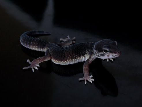 Black leopard gecko morph? - Reptile Forums - photo#2