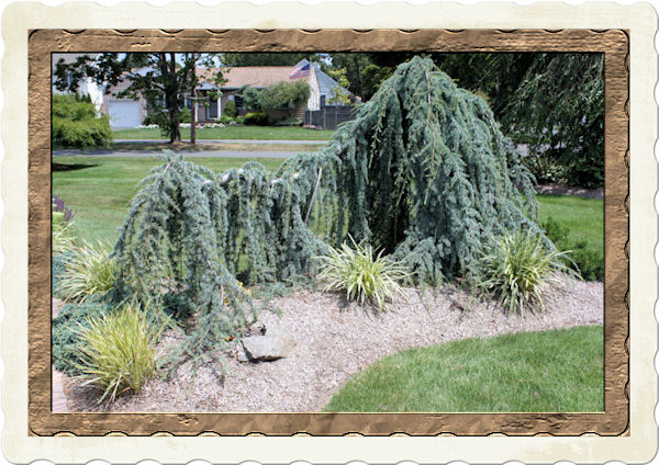 Weeping Blue Atlas Cedar Takes On Its Own Unique Shape