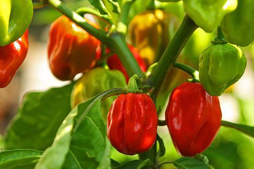 Red Savina Pepper
