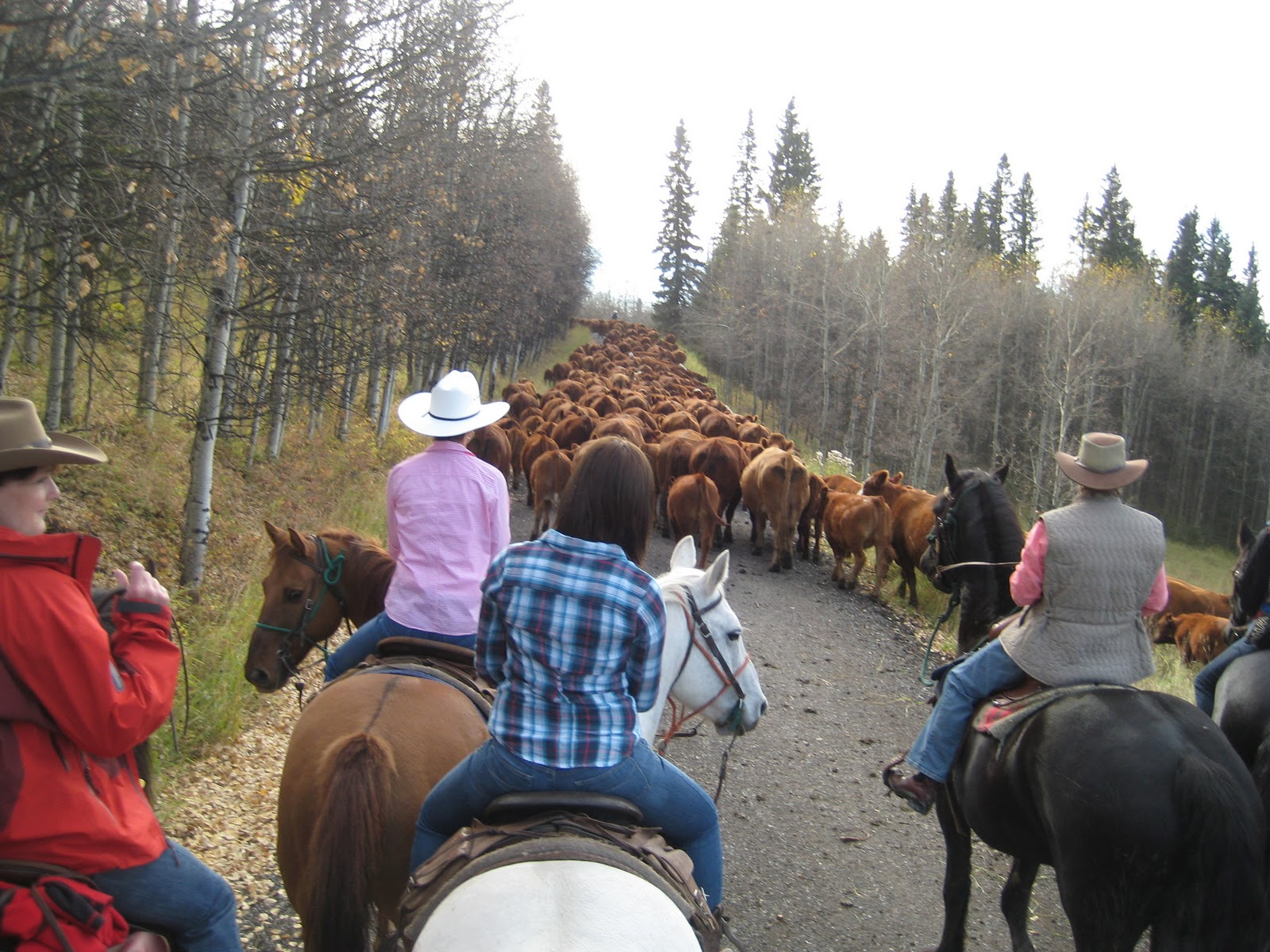 Anna S Next Adventure The Calgary Stampede Cattle Drive